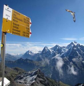 Balbuzard au-dessus des Alpes, 5 septembre 2010 (photo Denis Landenbergue & Wendy Strahm, recadrée pour montrer l'oiseau sur fond de la Jungfrau, du Mönch et de l'Eiger).