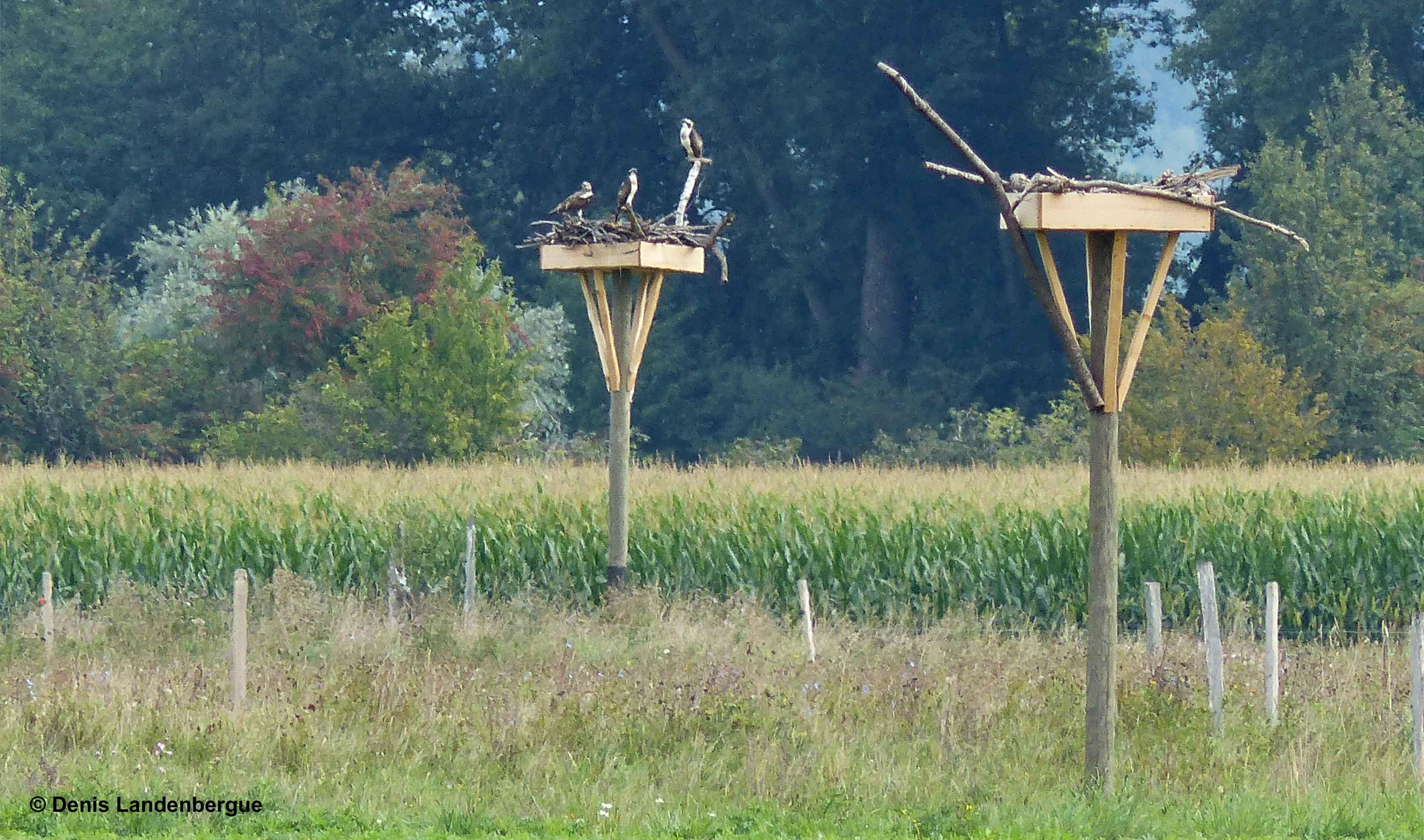Trois Balbuzards sur un nid artificiel 3 septembre 2015