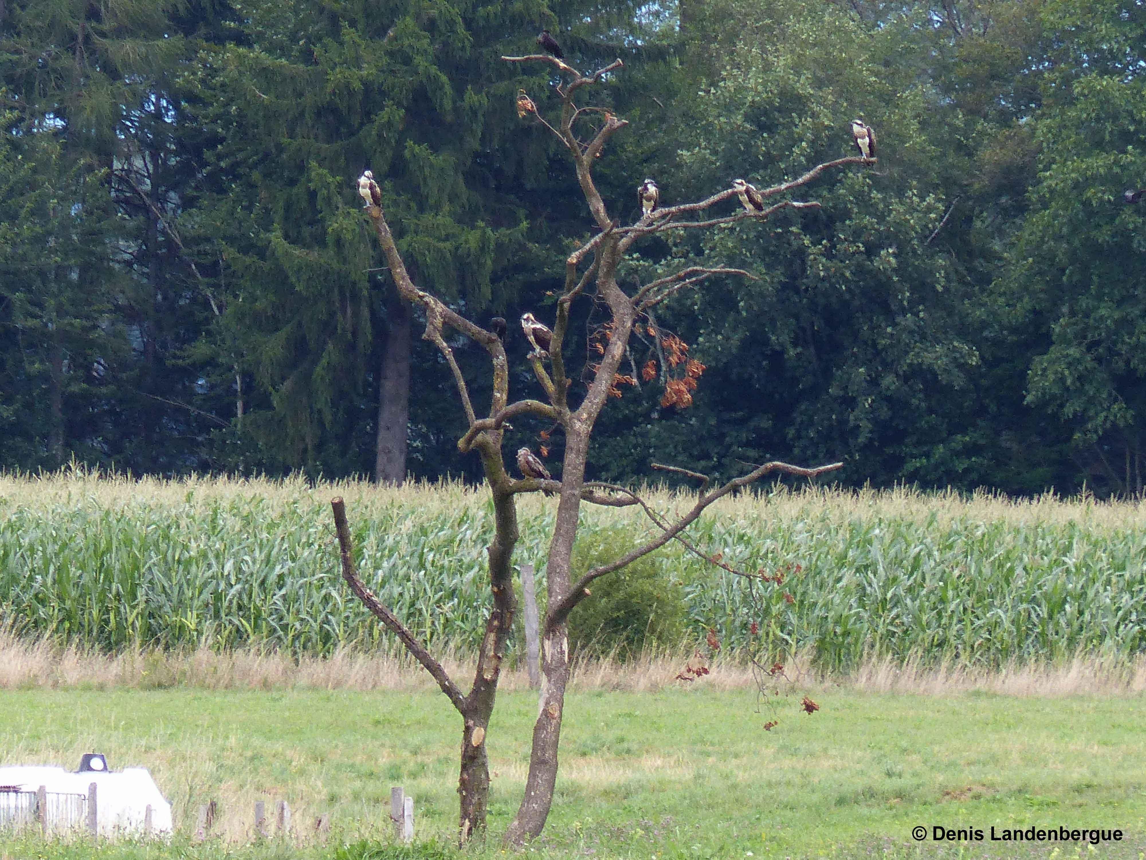 Cinq Balbuzards au site de lâcher 15 août 2015