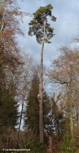 Pascal Grand climbing 35m Scots Pine