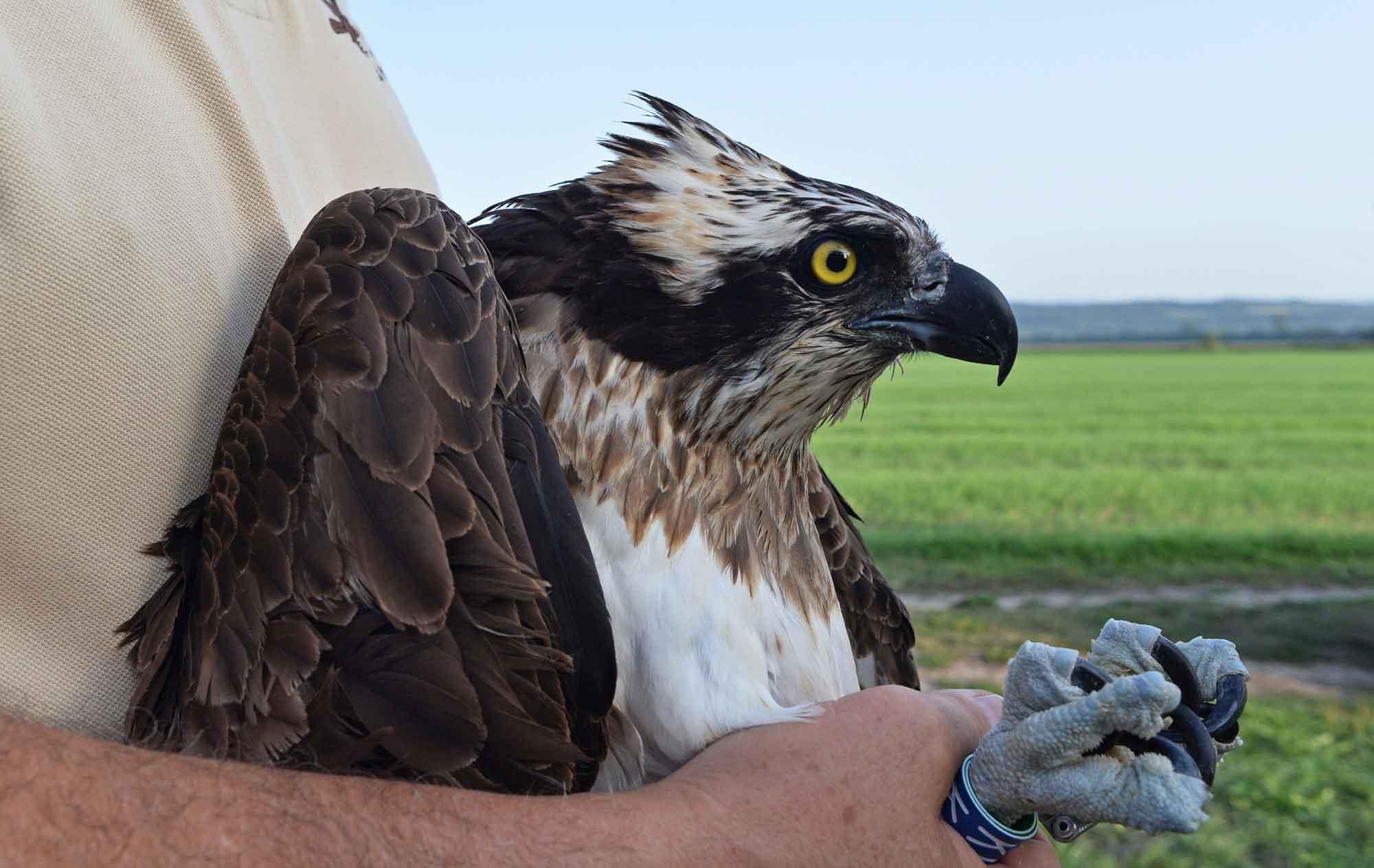 KF7 rescued adult female Osprey