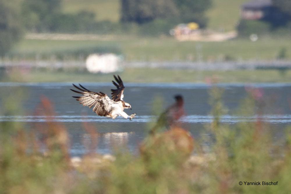 Le Balbuzard Arthur à Hagneck, Lac de Bienne