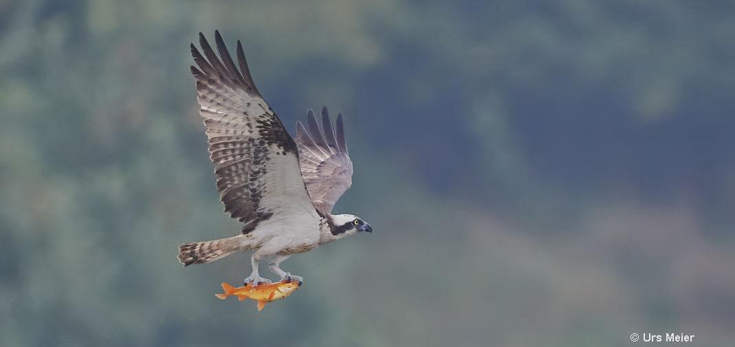Osprey with goldfish