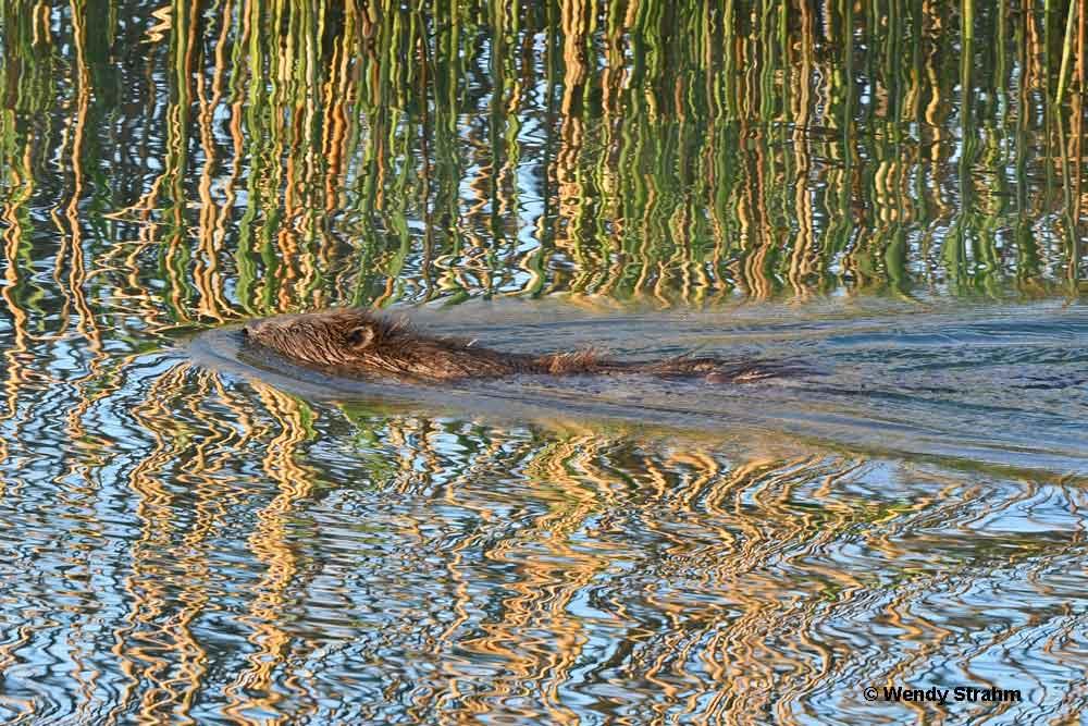 Beaver at Wohlensee