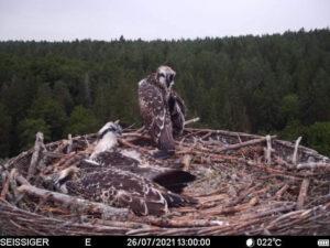 Trois jeunes Balbuzards de Plume en Allemagne sur le nid